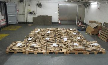 Hong Kong and Guangdong Customs smash ivory trafficking case. During the operation, Hong Kong Customs seized a total of 1,209 pieces of ivory tusks and 1.4 kilogrammes of ivory ornaments, weighing about 3,813 kilogrammes, inside two containers shipped from Tanzania and Kenya to Hong Kong. The total seizure is worth about $26.7 million.